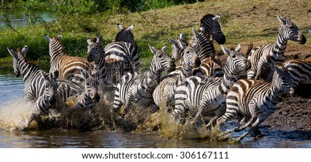 Zebras at the watering. Tanzania. Serengeti. An excellent illustration. Dynamic Photo. Motion. Africa. Safari. - stock photo