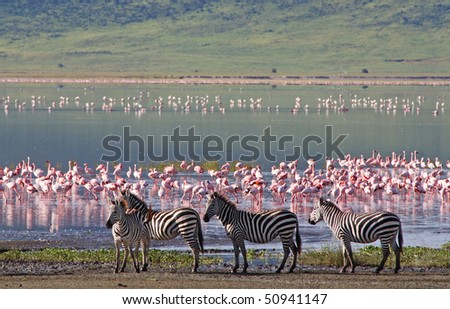 Zebras beside the lake in the Ngorongoro Crater, Tanzania, flamingos in the background - stock photo