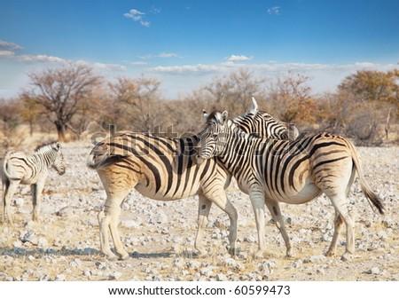 zebras couple - stock photo