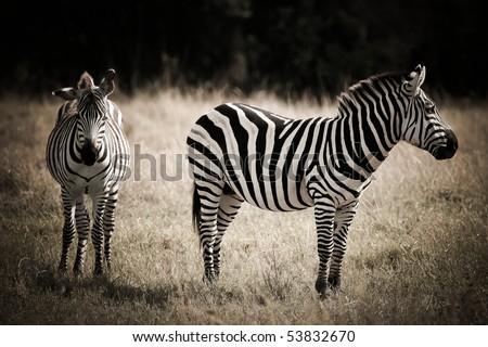 zebras couple in the masai mara reverse in kenya africa - stock photo