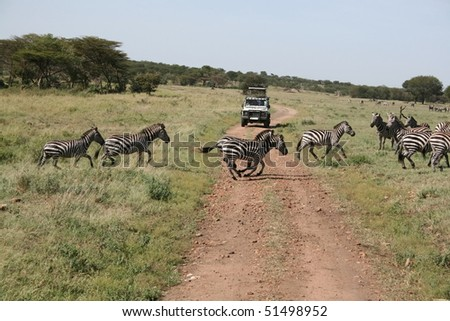 Zebras crossing a dirt road - stock photo