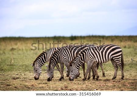 Zebras eating grass in the Tarangeri National Park, Tanzania, Africa - stock photo