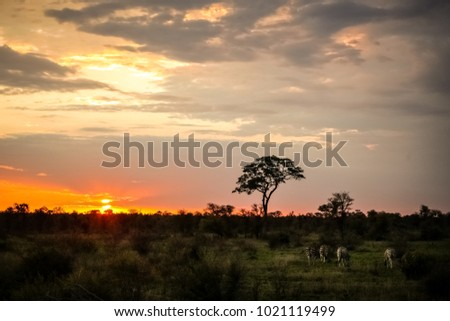 Zebras feeding in a game reserve, Silhouette tree at sunset, African bush