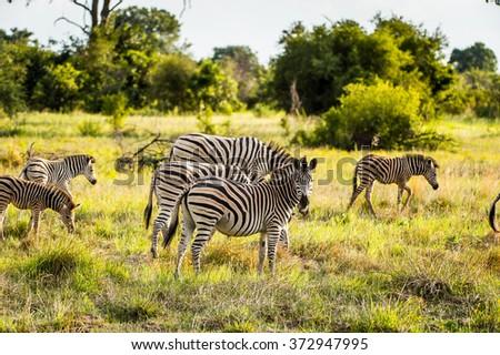 Zebras flock in the Moremi Game Reserve (Okavango River Delta), National Park, Botswana - stock photo