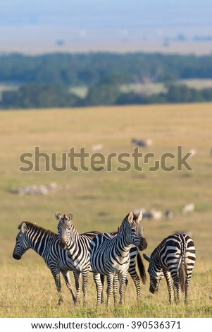 Zebras flock standing in the savannah and are watching