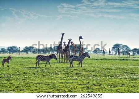 Zebras, giraffes and wildebeests are walking in African savannah - stock photo