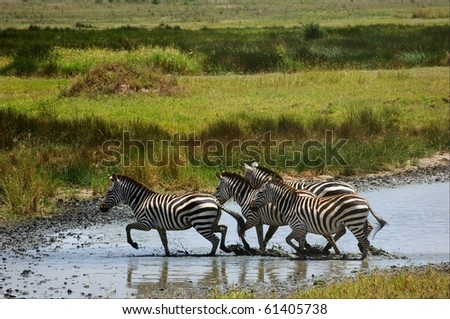 Zebras go on water. The small group of zebras crosses a water barrier. - stock photo