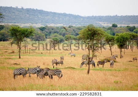Zebras grazing in Serengeti National Park, Africa - stock photo