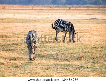 Zebras grazing in South Luangwa National Park, Zambia, Africa - stock photo