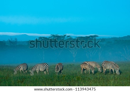 Zebras grazing in the dawn mist. Nakuru National Park, Kenya. - stock photo