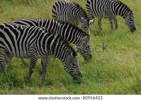 Zebras grazing on Serengeti - stock photo