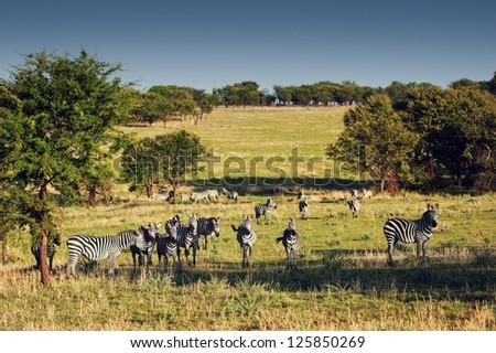Zebras herd on savanna, Africa. Safari in Serengeti, Tanzania - stock photo