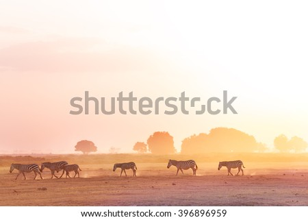 Zebras herd walking on savanna at sunset, Africa