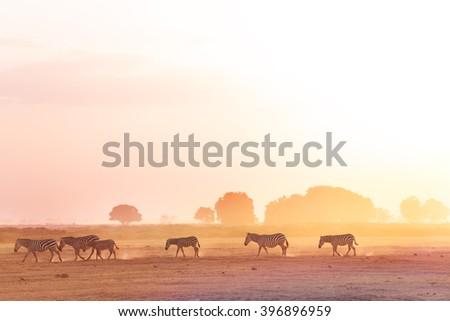 Zebras herd walking on savanna at sunset, Africa - stock photo