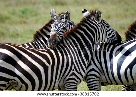 Zebras holding each other - stock photo