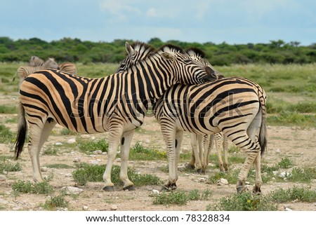 zebras in Etosha national park,Namibia - stock photo