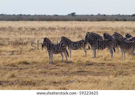 zebras in free nature - stock photo