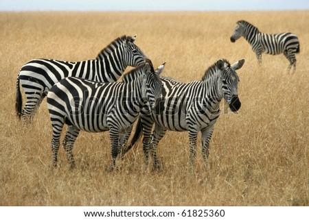 Zebras in Kenya's Maasai Mara - stock photo