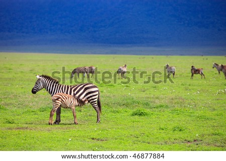 Zebras in Ngorongoro conservation area in Tanzania