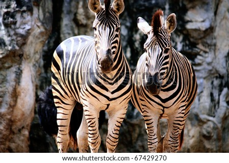 Zebras in soft afternoon light, - stock photo