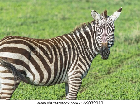 Zebras in the Crater Ngorongoro National Park - Tanzania, East Africa - stock photo