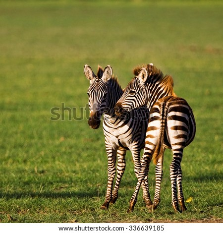 Zebras in the Lake Manyara National Park, Tanzania - stock photo