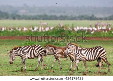 Zebras in the Lake Manyara National Park, Tanzania, East-Africa - stock photo