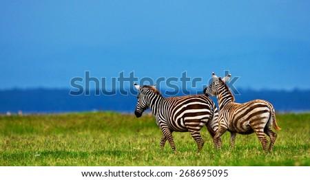 Zebras in the Lake Nakuru National Park in Kenya, Africa - stock photo