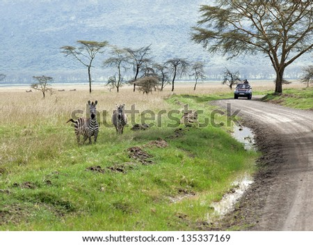 Zebras in the Lake Nakuru National Park - Kenya, Eastern Africa - stock photo