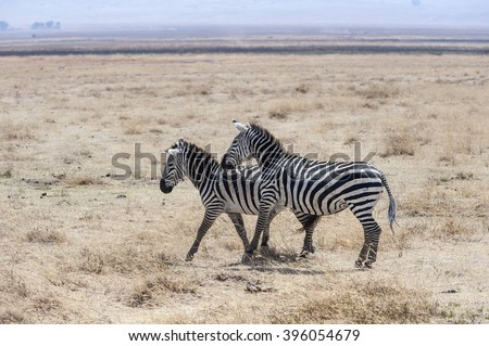 Zebras in the National Park - stock photo