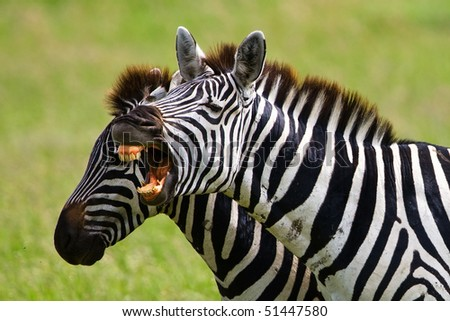Zebras in the Serengeti National Park, Tanzania - stock photo