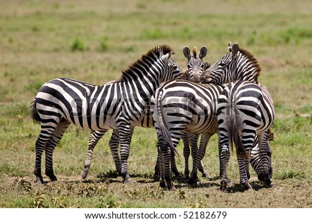 Zebras in the Serengeti National Park, Tanzania