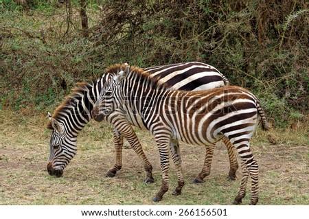 Zebras in wilderness - stock photo