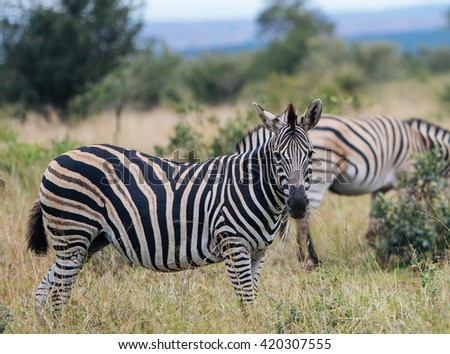 Zebras-Kruger park, South Africa - stock photo