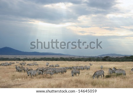 Zebras of Africa - stock photo