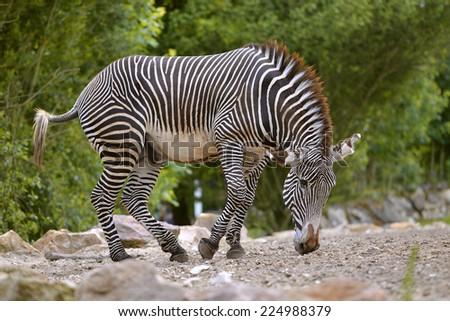 Zebras of Grevy or imperial zebra (Equus grevyi)  - stock photo