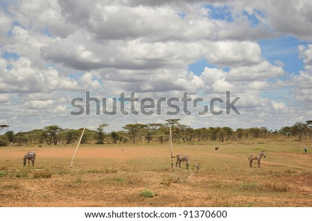 Zebras on football field in Serengeti Tanzania. - stock photo
