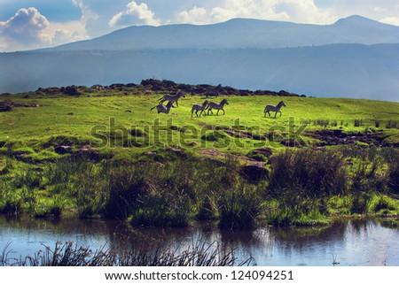 Zebras on green grassy hill. Ngorongoro crater, Tanzania, Africa - stock photo
