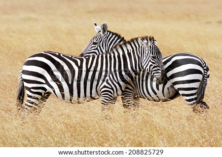 Zebras on the Masai Mara in southwestern Kenya. - stock photo