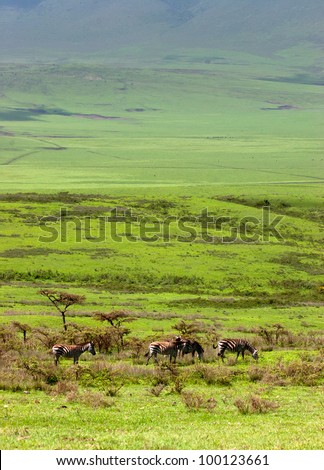 Zebras on the Serengeti Tanzania East Africa - stock photo