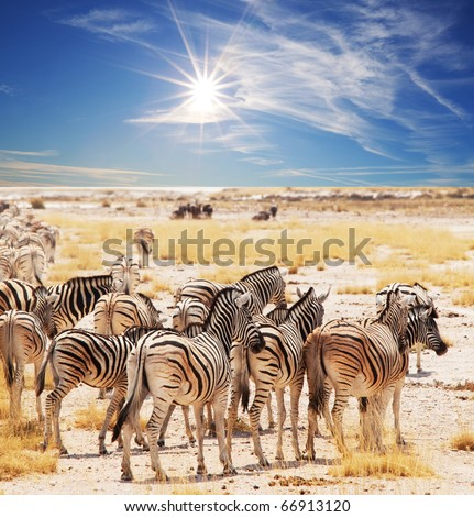 zebras on waterhole - stock photo