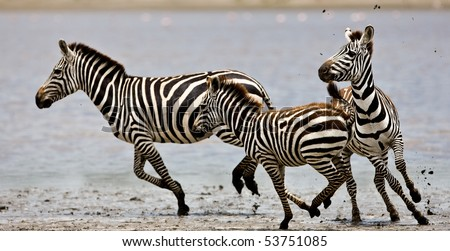 Zebras running beside a small lake in the Serengeti National Park, Tanzania - stock photo