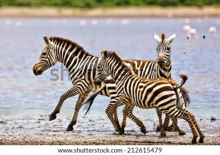 Zebras running beside Lake Ndutu in the Serengeti National Park, Tanzania - stock photo