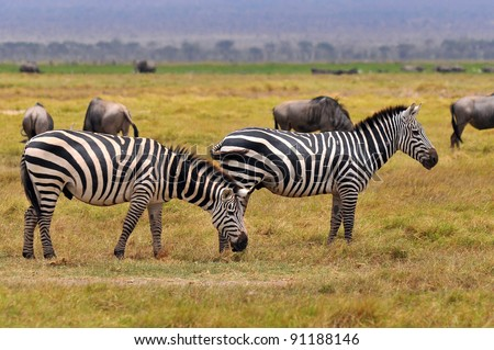 Zebras Serengeti Tanzania. The Serengeti hosts the largest mammal migration in the world, which is one of the ten natural travel wonders of the world. - stock photo