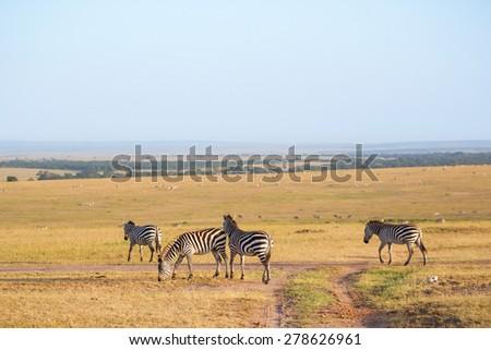 Zebras that walking in the savannah landscape - stock photo