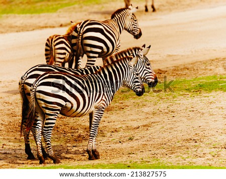 zebras together late in the afternoon