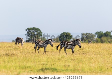 Zebras which migrate the savannah - stock photo