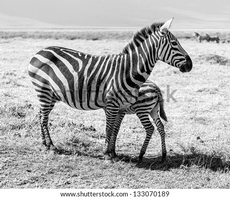 Zebras with baby in the Crater Ngorongoro National Park - Tanzania, Eastern Africa (black and white) - stock photo