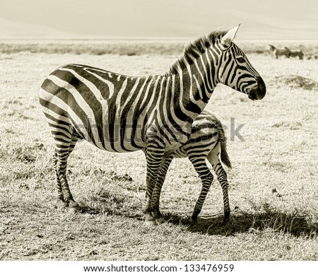 Zebras with baby in the Crater Ngorongoro National Park - Tanzania, Eastern Africa (stylized retro) - stock photo