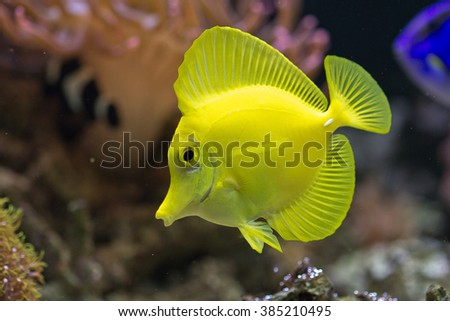 Zebrasoma flavescens a surgeon fish from the indo pacific reefs, widespread due to aquarium hobby - stock photo